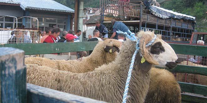 Uvećano opštinsko matično stado ovaca