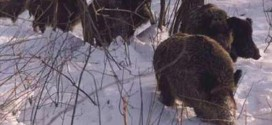 LOVCI U AKCIJI: Odstreljeno šest divljih svinja