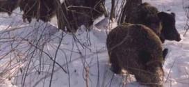 ЛОВЦИ У АКЦИЈИ: Одстрељено шест дивљих свиња