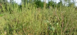 ОБАВЕШТЕЊЕ – сузбијање и уништавање коровске биљке амброзија